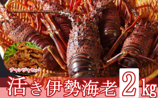 【訳あり】【漁港直送】活き伊勢海老(2kg)&天然まぐろのチャンジャセット