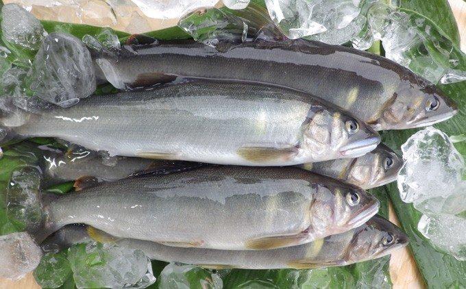 Esj-11k 四万十川上流の天然鮎 新もの冷凍 火振り漁鮎(4〜12尾)【着日指定不可】
